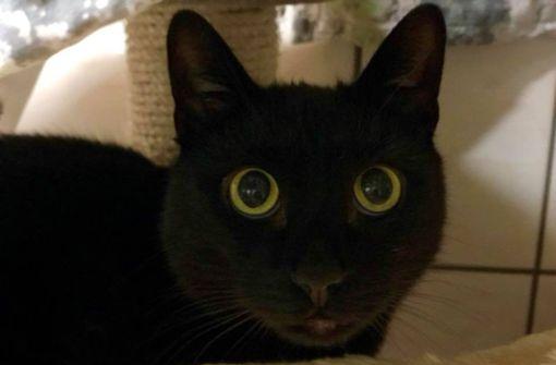 Ganz große, ängstliche Augen in einem pechschwarzen Fell – das sind die Markenzeichen von Kater bRonny/b, der im Tierheim auf seine Menschen wartet. Freigang ist für den verschmusten Kerl, der im Tierheim abgegeben wurde, kein Thema. Ronny wurde 2012 geboren. Foto: Tierheim Böblingen