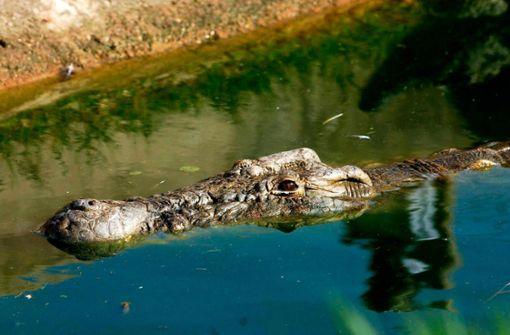 Krokodil frisst Unterkörper und Hände