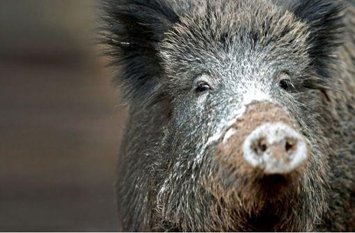 Wildschwein flüchtet vor Treibjagd in Wohngebiet und wird erschossen