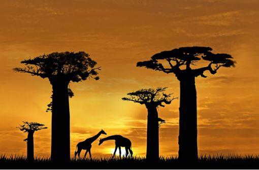 Baobab – die Riesen wanken