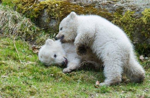 Eisbärbabys entzücken 10.000 Besucher