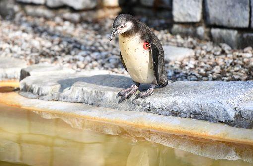 In Mannheim wurde ein junger Humboldt-Pinguin aus einem Tiergehege gestohlen. Foto: dpa