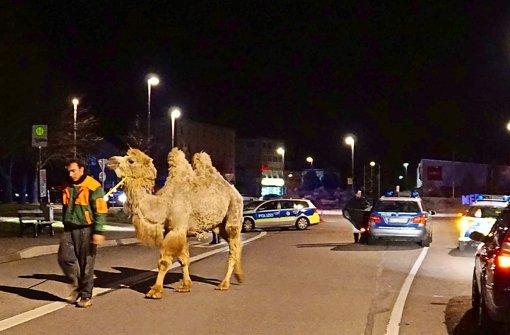 Immer Zirkus mit Kamelen