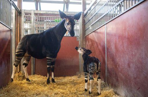 Trinken lassen hat Stuttgarts Okapi-Mama Nyota ihr Baby seit der Geburt vor gut einer Woche noch nicht. Foto: dpa
