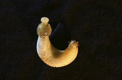 Ottoia lebte im Kambrium (541 bis 485 Millionen Jahre) eingegraben im Sand des Meeresbodens. Foto: Museum/Horn