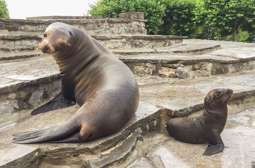 Seelöwen-Nachwuchs Samantha zeigt sich draußen