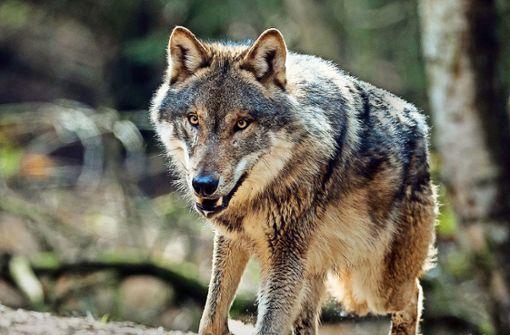 Wie begründet ist die Angst vor dem Wolf?