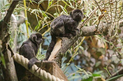 Großer Umzug der kleinen Affen