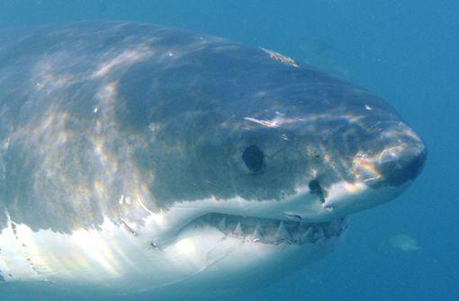 Weißer Hai im Mittelmeer gefangen