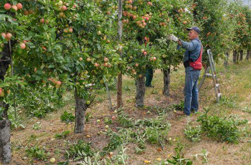 Brandenburg, Hohenwalde: Die lang anhaltende Trockenheit bereitet auch den Obstbauern große Sorge. Wegen der fehlenden Niederschläge werden die Äpfel kleiner und können so schlechter vermarktet werden. Foto: dpa