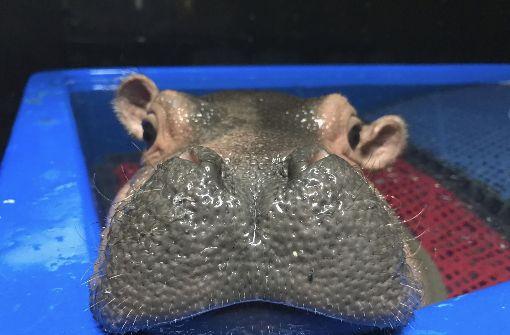 Erster Nilpferdnachwuchs seit 75 Jahren