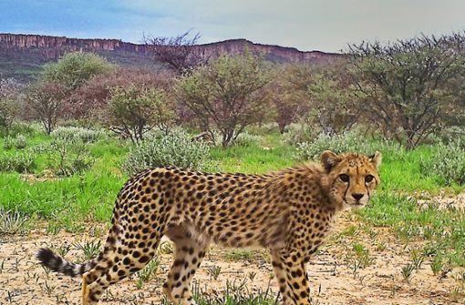 Per Mausklick auf Gepardenpirsch