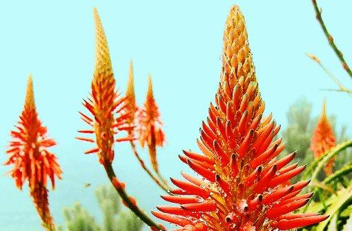 Blühende Aloe vera auf Madeira. Foto: SRT