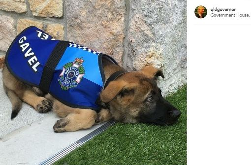 Der Hund, der zu lieb für den Polizeidienst war