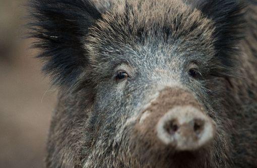 Audi überfährt sieben Wildschweine