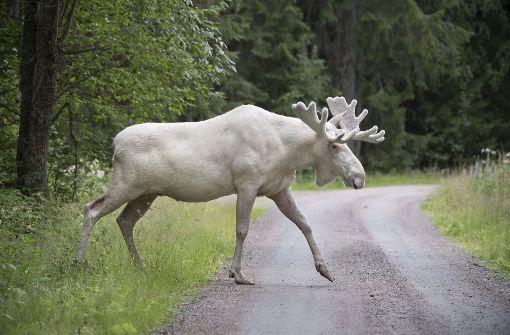 Seltener weißer Elch in Schweden gefilmt