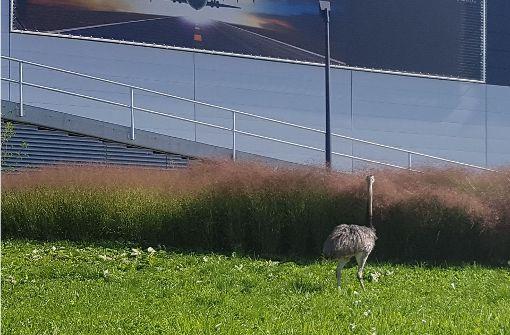 Laufvogel wieder gesichtet