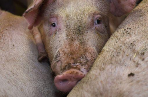 Armes tolles Schweinderl