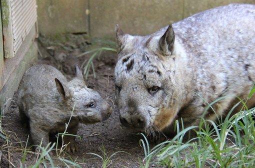 Süßer Zuchterfolg bei den Wombats