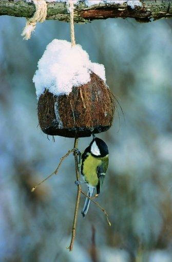 """Auch Meisen kommen regelmäßig zu Besuch ins Vogelhäuschen oder an die Futterstelle. Diese Bild zeigt eine Kohlmeise. Foto: """"Vögel füttern, aber richtig"""", Peter Berthold, Kosmos Verlag Stuttgart"""