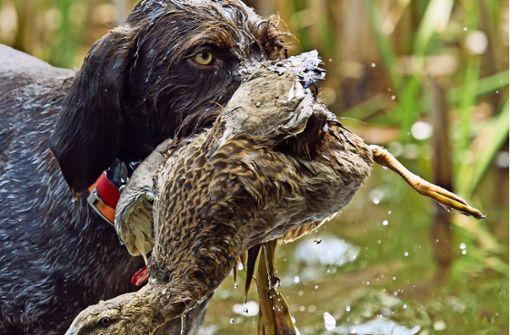 Junge Hunde werden für die Jagd  im Wasser ausgebildet. Foto: Steve Oehlenschlager/AdobeStock