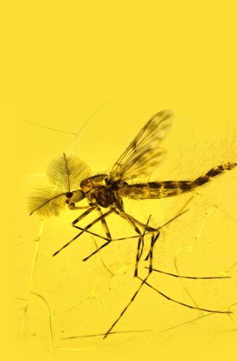 Zuckmücke: Von dieser Tiergruppe leben weltweit etwa 5000 Arten, davon 570 Arten in Deutschland. Es handelt sich um meist sehr kleine  Mücken mit Körperlängen zwischen zwei und 14 Millimetern. Die im Dominikanischen Bernstein eingeschlossenen Exemplare (Foto) haben ein Alter von etwa 40 Millionen Jahren. Foto: Arnold Staniczek/SMNS