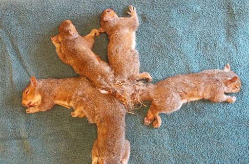 Fünf verknotete Eichhörnchen gerettet