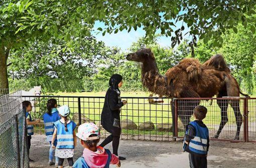 Kamel wartet auf Käufer