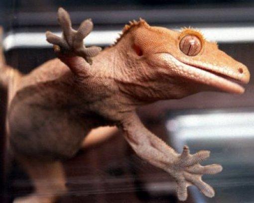 44 Geckos in Unterhose geschmuggelt