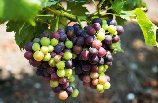 In Esslingen steht die früheste Weinlese aller Zeiten  an