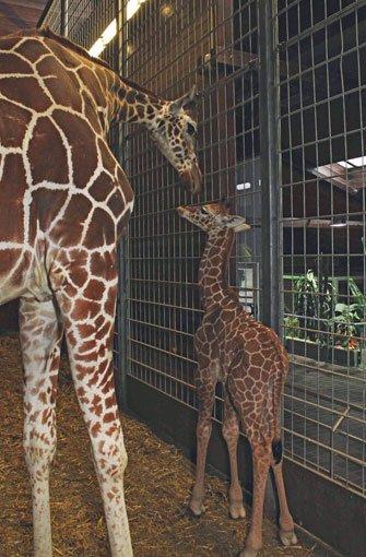 wilhelma in stuttgart sturzgeburt eines giraffenbabys stuttgart stuttgarter nachrichten. Black Bedroom Furniture Sets. Home Design Ideas