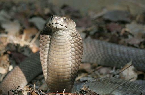 Tödliche Schlangenbisse und kein Serum