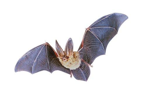 Obwohl die Fledermaus ein Nachttier ist, hat sie Schwierigkeiten, im Dunkeln den rotierenden Flügeln der Windräder auszuweichen. Foto: dpa