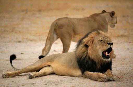 Löwen sind eine begehrte Trophäe bei Großwildjägern Foto: ZIMPARKS