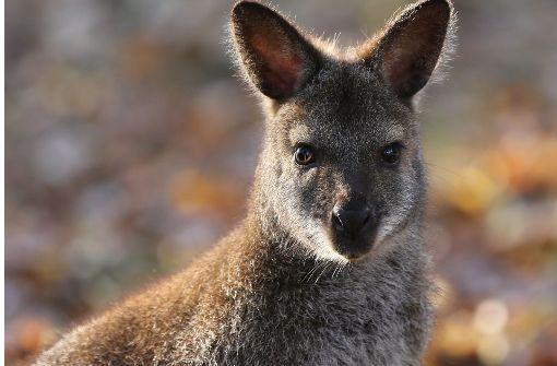 Bis auf eines sind alle Kängurus wieder in Bretten zurück. Foto: dpa/Tierpark Bretten