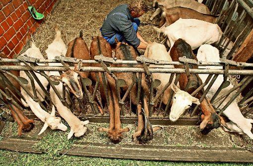 Hirnerkrankung nach Ziegenmilch-Genuss