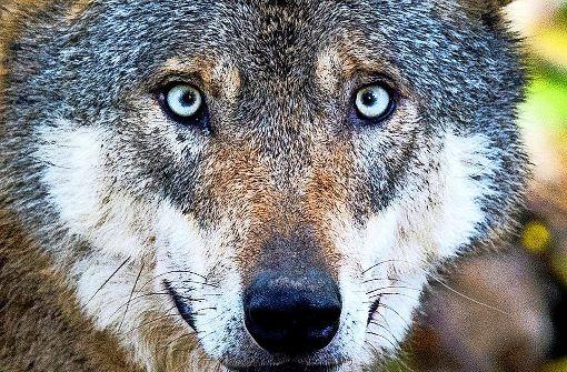 Die Mär vom bösen Wolf