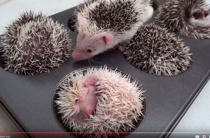 Süßes Youtube-Video: Baby-Igel schlafen in einer Muffin-Backform