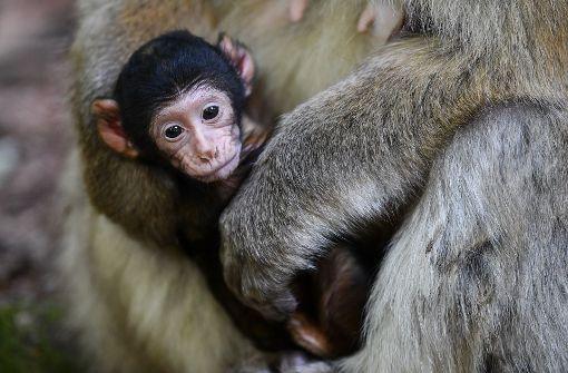 Nachwuchs bei den Berber-Affen