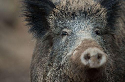 In Aalen hat sich ein Wildschwein ins Krankenhaus verirrt. Foto: dpa