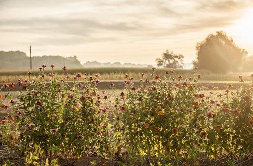 Wunderschön legt sich die spätsommerliche Sonne über Felder und Blumen in Neckartailfingen Foto: Leserfotograf emqi