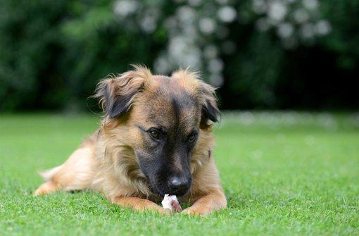 Hundehasser spickt Köder mit Klingen