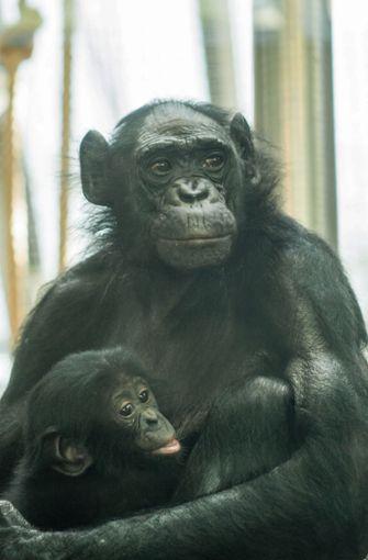 Weil Kombote das acht Monate alte Bonobo-Baby nicht säugen kann, kommt täglich ein Pfleger und übernimmt die Aufgabe. Foto: Wilhelma Stuttgart