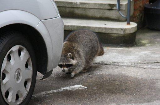 Ein Waschbär treibt in Schorndorf sein Unwesen. Das Tier versucht offenbar, sich in warmen Häusern einzunisten. Foto: Polizei