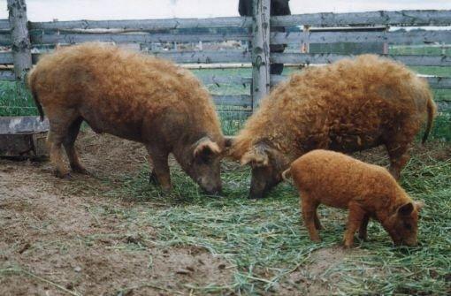 Wollschweine Foto: dpa