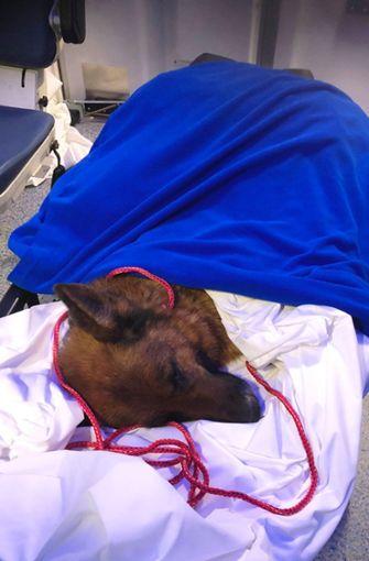 Die verletzte Schäferhündin nach ihrer Rettung. Foto: Schutz & Rettung Zürich/dpa