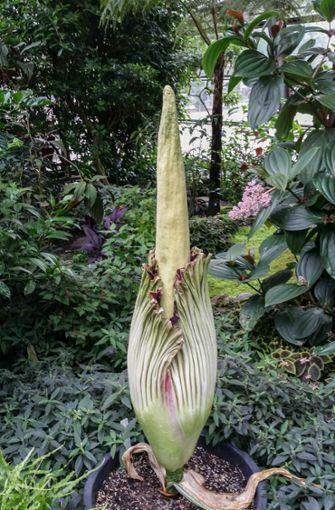 Weil die Pflanze sich nur eine Nacht in ganzer Pracht entfaltet, öffnete der zoologisch-botanische Garten das Schmetterlingshaus länger.  Foto: Wilhelma