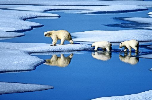 Wie Eisbären ums Überleben kämpfen