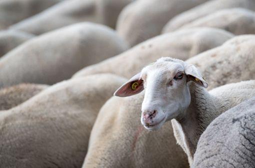Schafbock bleibt in Weidezaun stecken – Tiere flüchten