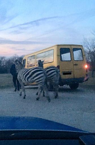 Schnappschuss: Zebra-Alarm in Ludwigshafen-Edigheim – Shakira und Baby bei ihrem überraschenden Ausflug.  Foto: Polizeipräsidium Rheinpfalz